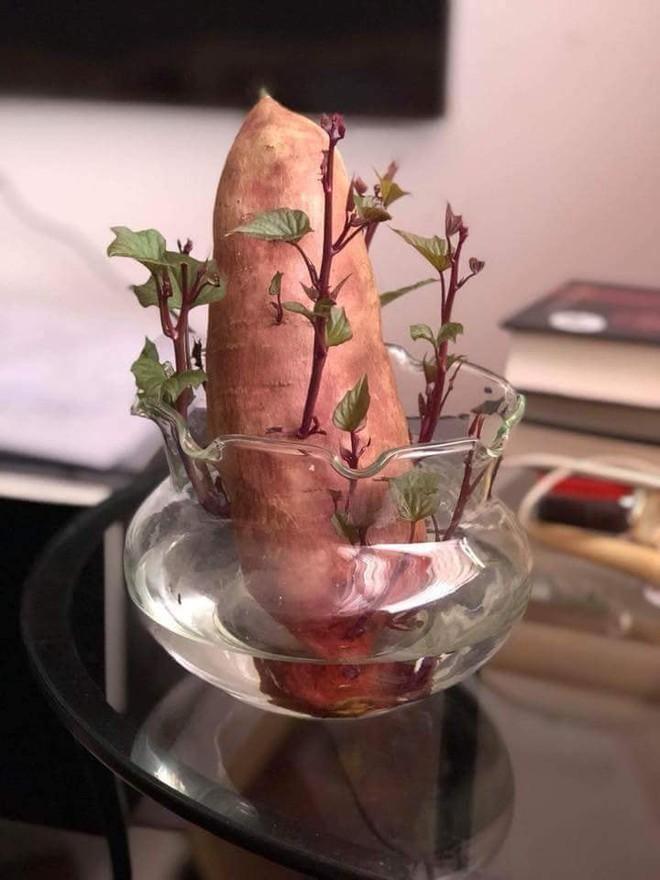 Đam mê bonsai nhưng kinh tế eo hẹp, cô nàng trồng củ khoai lang và đem lại kết quả bất ngờ - Ảnh 1.