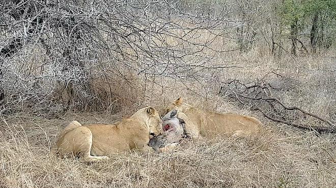 Vất vả đi săn, đến bữa ăn, sư tử lại bị kẻ thù đuổi đánh đến thảm hại - Ảnh 1.