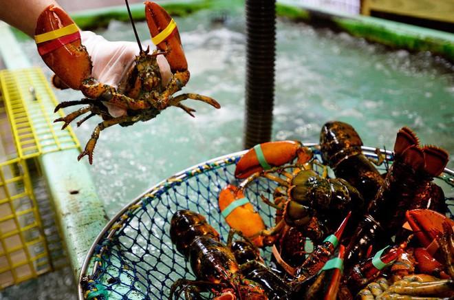 Tranh cãi xung quanh điều luật cấm luộc tôm hùm sống của Thụy Sĩ: Tại sao các đầu bếp bất chấp để làm điều đó? - Ảnh 4.