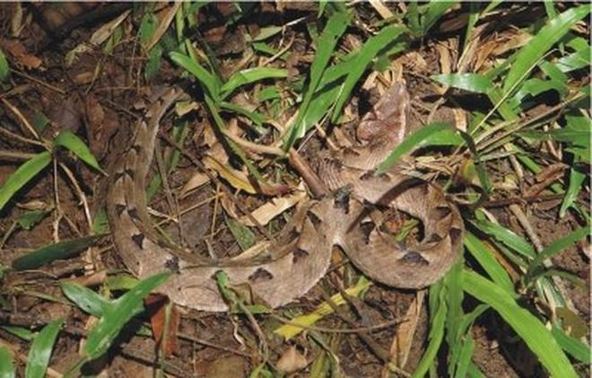Loài rắn cực độc nhìn tưởng cành cây khô ở Việt Nam - Ảnh 1.