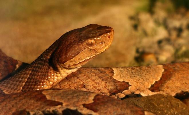 Chuyên gia tại Mỹ: Bão Florence mang theo một nỗi ám ảnh lớn - rắn độc! - Ảnh 2.