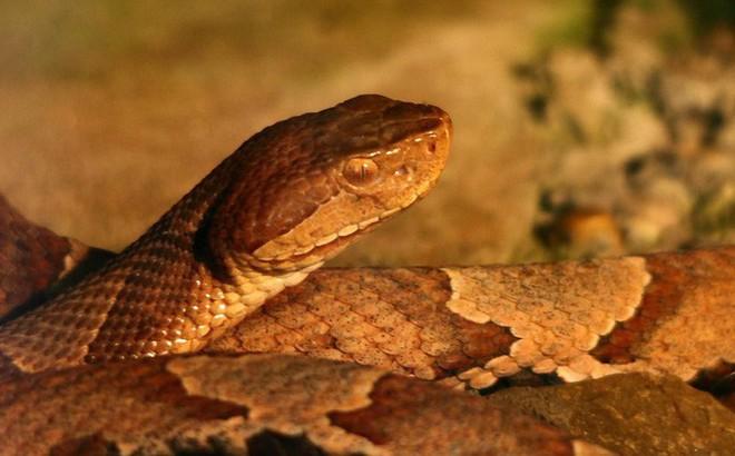 Chuyên gia tại Mỹ: Bão Florence mang theo một nỗi ám ảnh lớn - rắn độc!