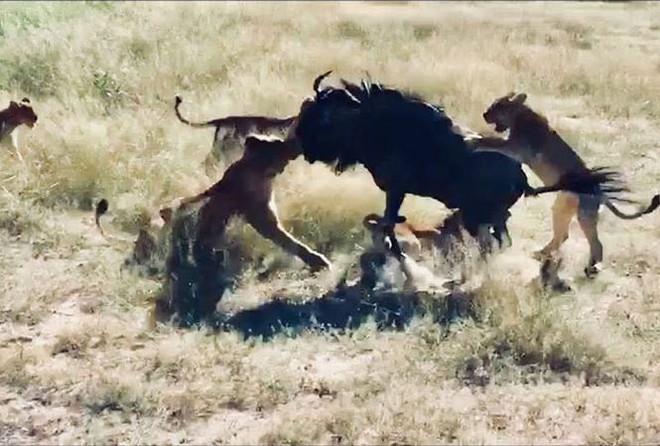 Clip: Linh dương đầu bò một mình đả bại 8 con sư tử   - Ảnh 1.
