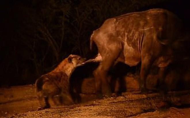 Ngày tồi tệ của trâu rừng: Chiến đấu với sư tử đến kiệt sức rồi bị linh cẩu cắn nát hạ bộ