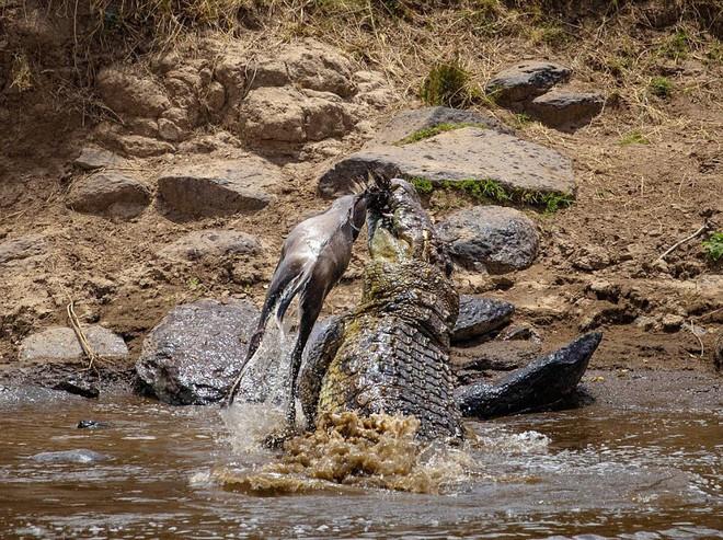 7 ngày qua ảnh: Cá sấu khổng lồ quăng quật linh dương đầu bò dưới sông - ảnh 2