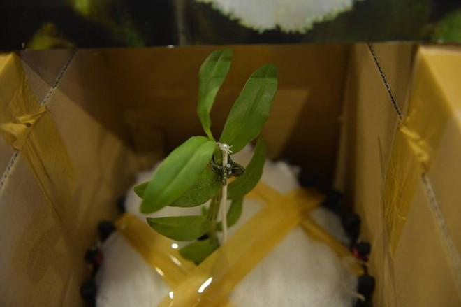 Cận cảnh gốc lan Giã Hạc 5 cánh trắng có giá gần 7 tỉ đồng ở Đà Nẵng - Ảnh 7.
