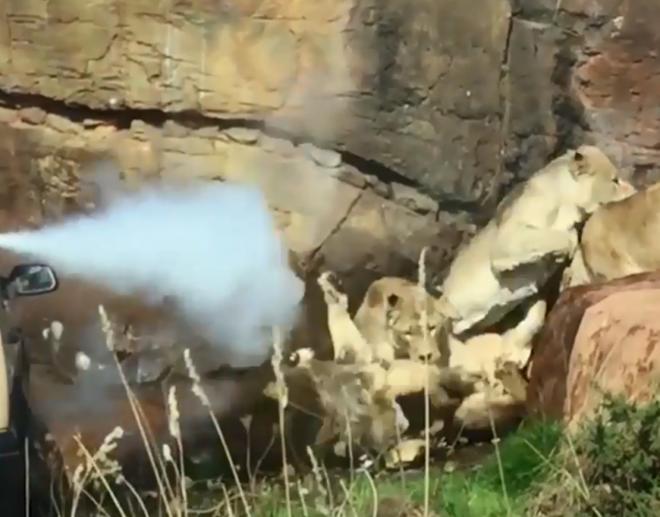 Cận cảnh 9 sư tử cái hung dữ xâu xé con đực đơn độc - Ảnh 2.