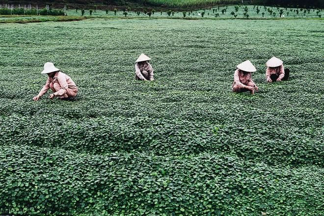 Giải mã loại cây dại được đổi đời thành rau organic trong trang trại đẳng cấp quốc tế - ảnh 8