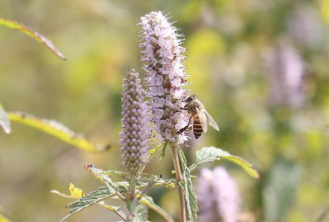 Mùa thu hoạch mật ong trên cao nguyên đá Hà Giang - Ảnh 2.