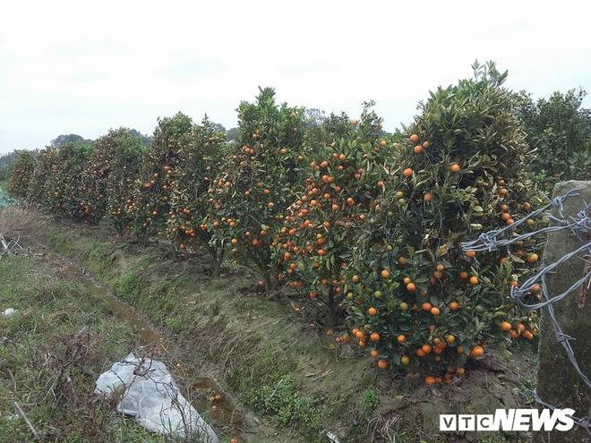 Kẻ xấu dùng thuốc diệt cỏ sát hại hơn 300 cây quất cảnh - Ảnh 1.