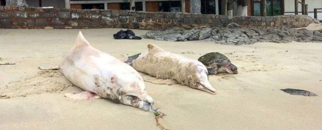 Cảnh tượng đau lòng: Hàng trăm con cá heo xám chết bất thường, dạt vào bờ biển Brazil. Ảnh: Boto Cinza Institute