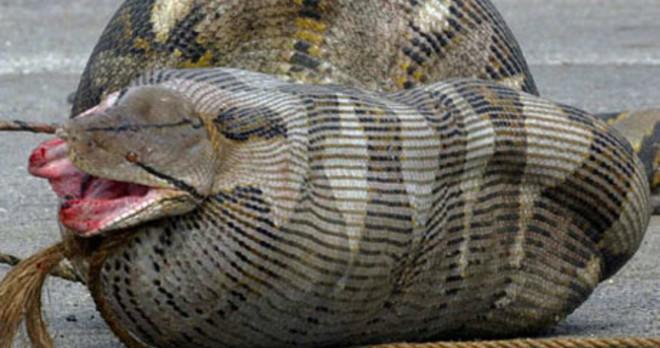 Đang nuốt dở con mồi, rắn nâu bị rắn đen đục thân thoát ra ngoài ngoạn mục - ảnh 1