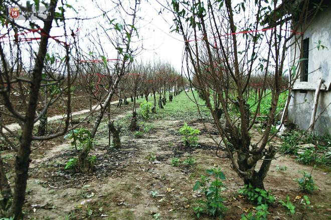 Người dân làng đào Nhật Tân: Từ giờ đến Tết mà rét thế này thì đào không nở hoa kịp mất! - Ảnh 2.