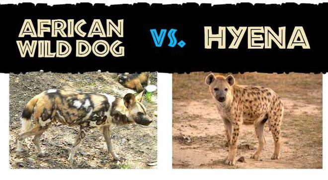 Bé bằng nửa kẻ thù, chó hoang vẫn chiến thắng nhờ vũ khí bí mật - Ảnh 1.