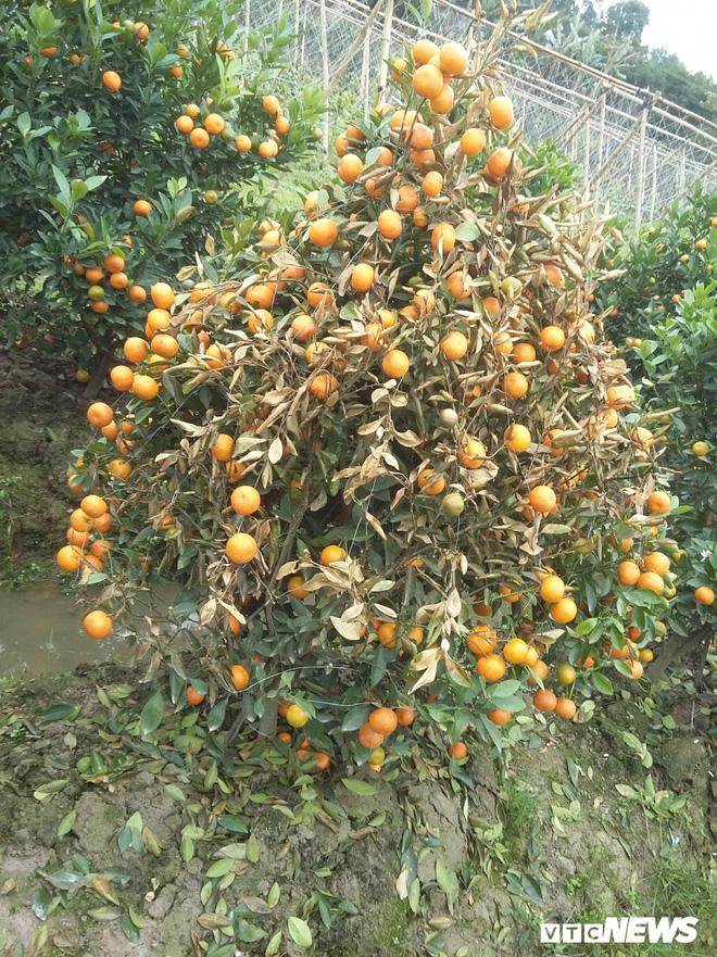 Kẻ xấu dùng thuốc diệt cỏ sát hại hơn 300 cây quất cảnh - Ảnh 3.