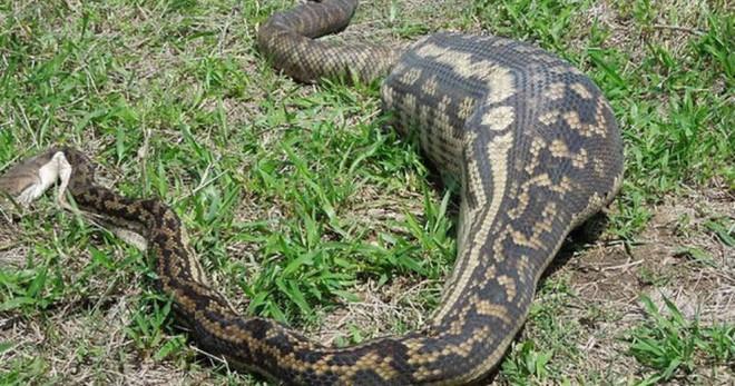 Đang nuốt dở con mồi, rắn nâu bị rắn đen đục thân thoát ra ngoài ngoạn mục - ảnh 4