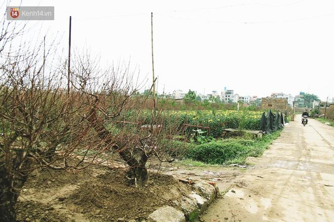 Người dân làng đào Nhật Tân: Từ giờ đến Tết mà rét thế này thì đào không nở hoa kịp mất! - Ảnh 4.