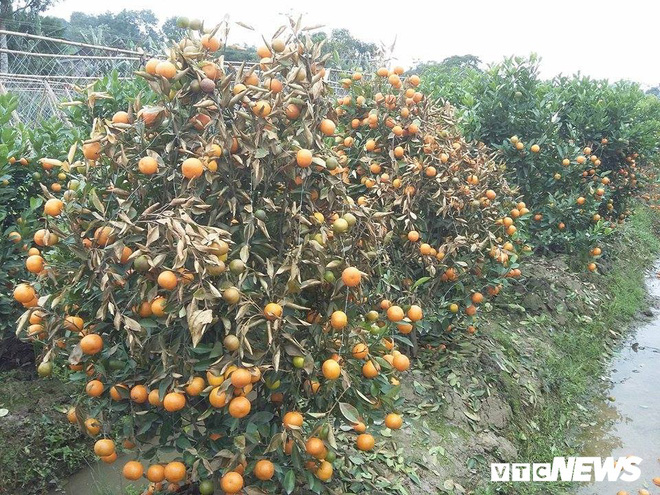 Kẻ xấu dùng thuốc diệt cỏ sát hại hơn 300 cây quất cảnh - Ảnh 5.