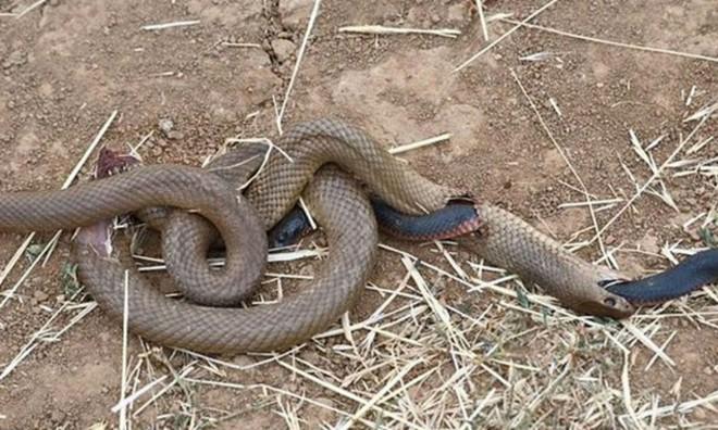 Đang nuốt dở con mồi, rắn nâu bị rắn đen đục thân thoát ra ngoài ngoạn mục - ảnh 7