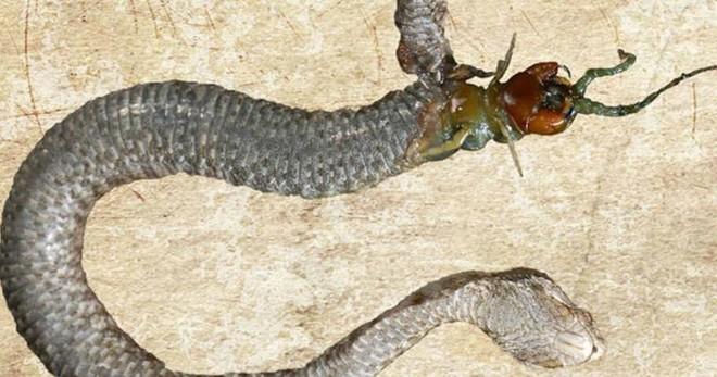 Đang nuốt dở con mồi, rắn nâu bị rắn đen đục thân thoát ra ngoài ngoạn mục - ảnh 8