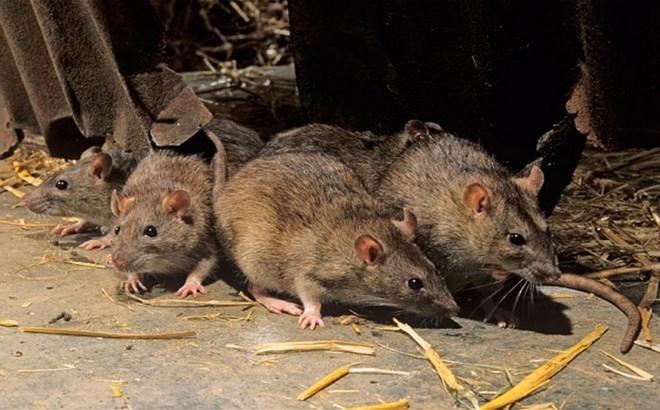 Chuột nhà là nỗi lo của mọi gia đình