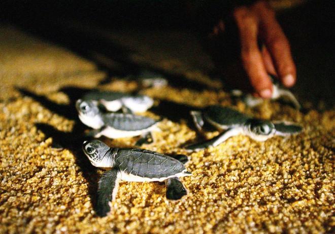 Hơn 200.000 con rùa xanh cái sắp chết vì không thể lấy chồng chỉ bởi lý do ai cũng biết - Ảnh 3.