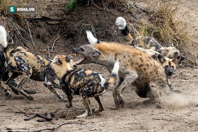 Liều lĩnh cướp thức ăn của kẻ thù, linh cẩu bị cả đàn chó hoang truy sát - Ảnh 1.