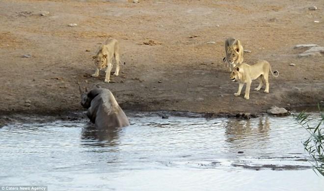 Bụng mang dạ chửa, tê giác trượt chân sát đầm lầy, sư tử lập tức bao vây - Ảnh 2.
