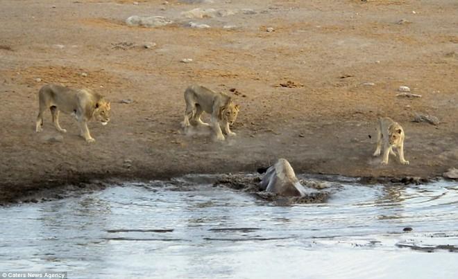 Bụng mang dạ chửa, tê giác trượt chân sát đầm lầy, sư tử lập tức bao vây - Ảnh 4.