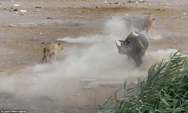 Bụng mang dạ chửa, tê giác trượt chân sát đầm lầy, sư tử lập tức bao vây - Ảnh 5.