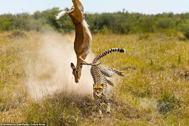 Đang chạy trốn thì vấp ngã, liệu linh dương có thoát khỏi đòn thù của báo săn? - Ảnh 1.