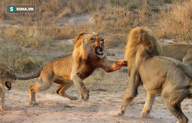 Hai sư tử đực đại chiến. Ảnh: The Mirror
