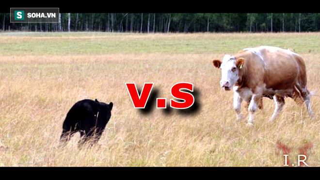 Gấu xám và bò. Ảnh: I.R