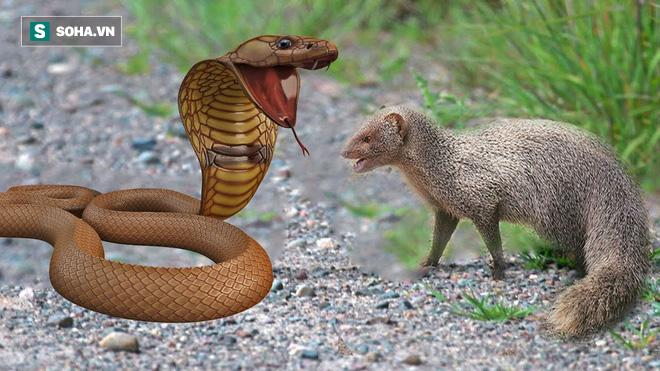 Hổ mang Ấn Độ thuộc Tứ đại nọc độc đối đầu cầy nâu: Cú cắn chí tử và kẻ chiến thắng - ảnh 1