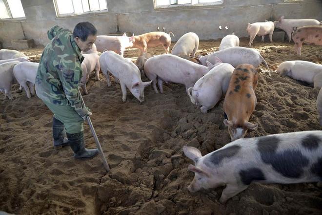 Ngành chăn nuôi lợn Trung Quốc gặp đại hạn ngay trước thềm năm Kỷ Hợi - ảnh 1