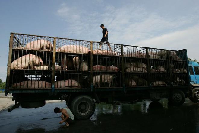 Ngành chăn nuôi lợn Trung Quốc gặp đại hạn ngay trước thềm năm Kỷ Hợi - ảnh 2