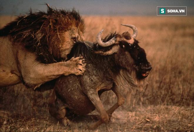 Linh dương sòng phẳng 1 chọi 1 với sư tử và chiến quả không ngờ tới - Ảnh 1.