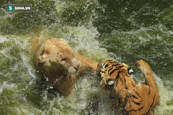 Sư tử và hổ bị nhốt chung 1 chuồng: Kết quả trận đại chiến họ nhà mèo sẽ ra sao? - Ảnh 1.