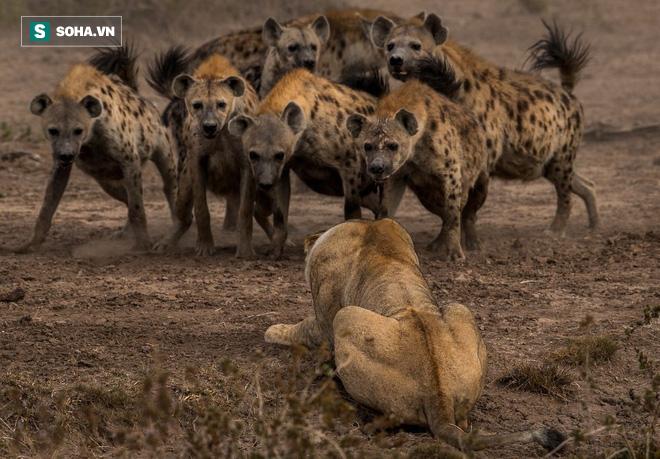 Oai hùng là thế nhưng khi cô độc, sư tử cái vẫn khổ sở chống lại đàn linh cẩu - Ảnh 1.