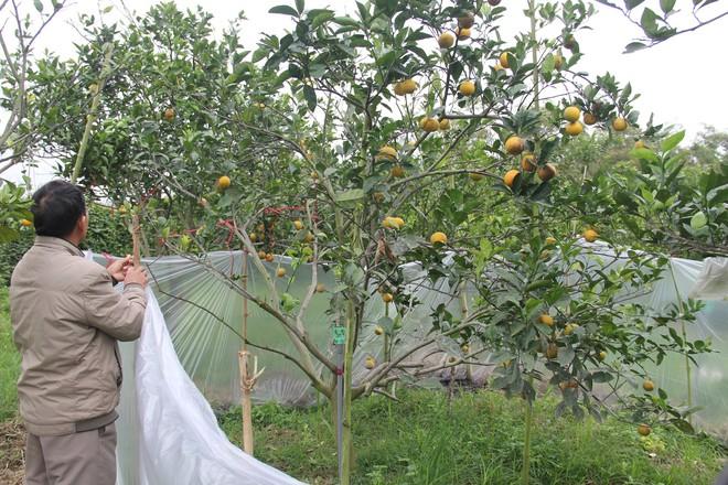 Chuột phá mất cả chục triệu đồng mỗi đêm trong vườn cam quý tiến vua, nông dân bất lực - Ảnh 5.