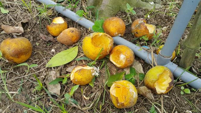 Chuột phá mất cả chục triệu đồng mỗi đêm trong vườn cam quý tiến vua, nông dân bất lực - Ảnh 7.