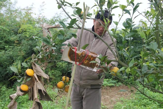 Chuột phá mất cả chục triệu đồng mỗi đêm trong vườn cam quý tiến vua, nông dân bất lực - Ảnh 6.