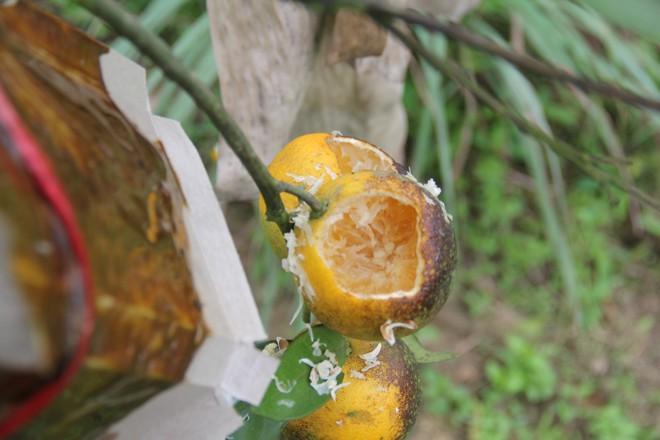 Chuột phá mất cả chục triệu đồng mỗi đêm trong vườn cam quý tiến vua, nông dân bất lực - Ảnh 4.