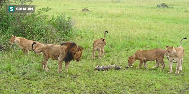 Bị sư tử bao vây, báo mẹ cắn răng lao vào cửa tử làm mồi nhử giúp con chạy thoát - Ảnh 1.
