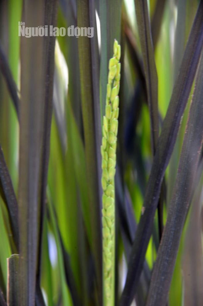 Lão nông 70 tuổi tiết lộ lí do trồng toàn hoa kiểng màu tím, thu hơn 15 tỉ/năm - Ảnh 16.