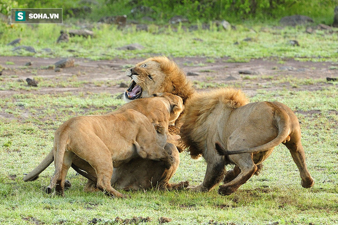 Sư tử cái đang bị thương vẫn phải liều chết chống lại hai con đực vũ phu - Ảnh 1.