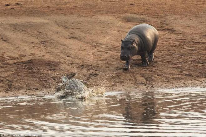 Không ngờ có ngày cá sấu cũng bị kẻ thù tấn công, phải vắt chân lên cổ mà chạy - Ảnh 6.