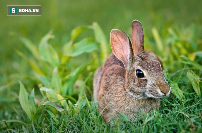 Đông y quan niệm thịt thỏ là kho báu: Tốt hơn thịt bò, gà, cừu, có thể chữa nhiều bệnh - Ảnh 2.