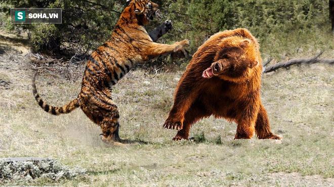 Hổ lao vào gấu đòi so tài: Vật lộn kinh hoàng rồi kẻ thua cuộc phải tháo chạy nhục nhã - ảnh 1