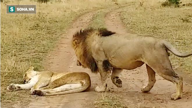 Thô bạo đánh thức bạn tình: Sư tử đực hứng chịu cơn thịnh nộ của con cái - Ảnh 2.